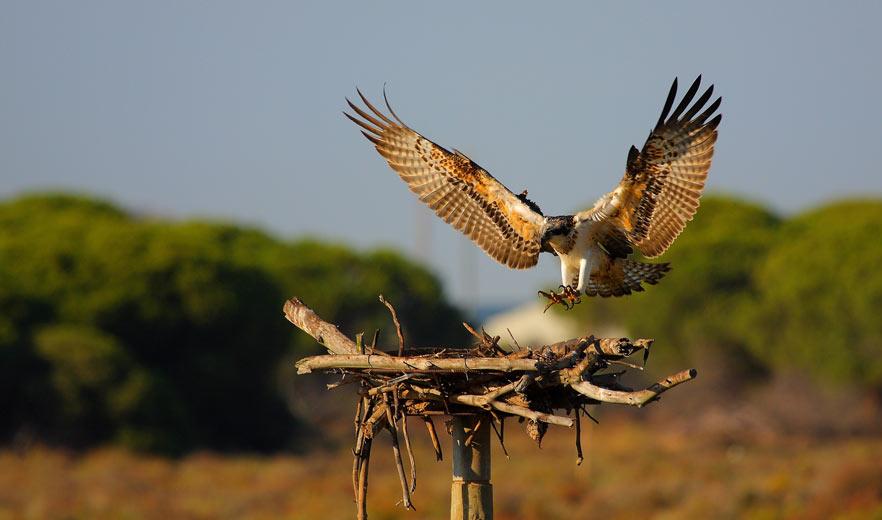 Águila-pescadora--Adolfo-Ventas