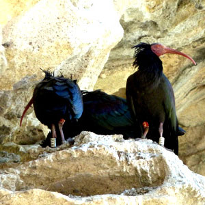 Visit to the bald ibis colony