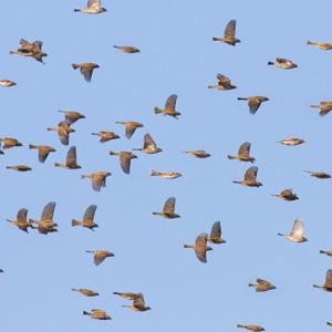 The small flight: passerine autumn migration