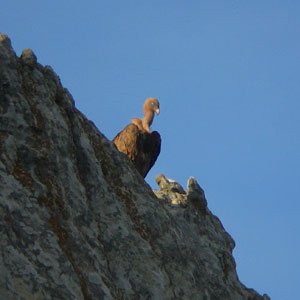 Eagles and vultures. Living in stone-walls