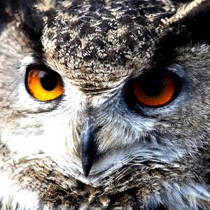 Nocturnal birds: owls and nighthawks