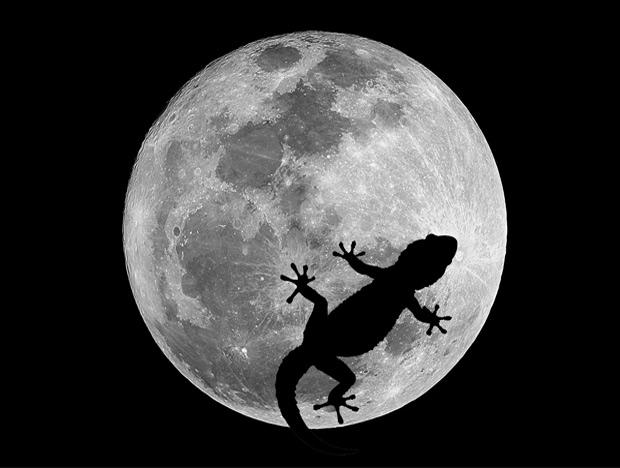 Luna-salamanquesa