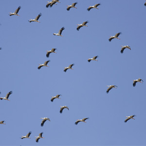 Entre dos mundos. Aves planeadoras