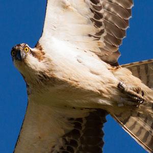 Reintroducción del águila pescadora