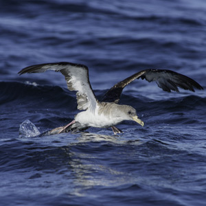 Between two seas: autumn migration of seabirds
