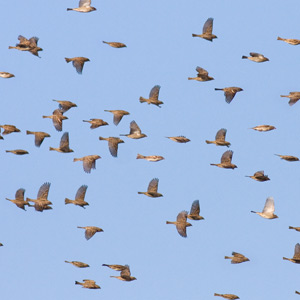 The small flight: passerine autumn migration