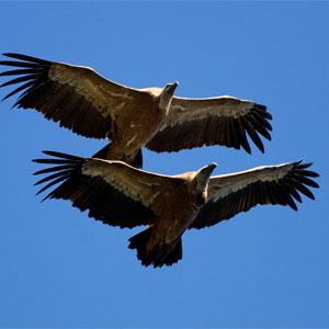 Observación de aves necrófogas
